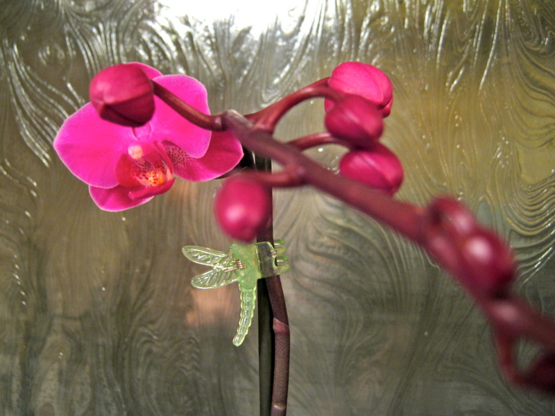 An orchid flowering in my kitchen